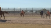 Inmates training horses in Florence